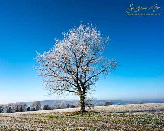 Frosty Winter Oak Tree